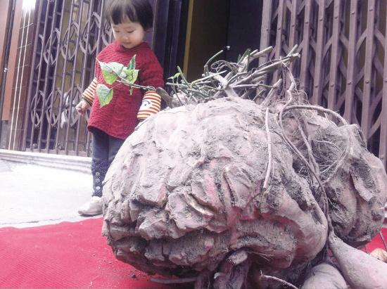 Phát hoảng với củ khoai lang nặng hơn 50 kg