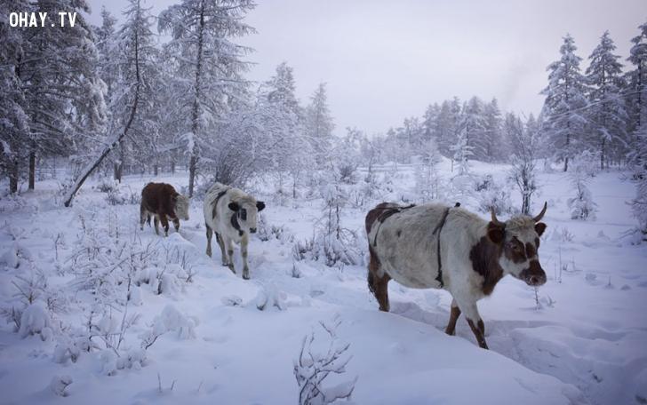 ảnh Oymyakon,lạnh nhất,xếp hạng nhất