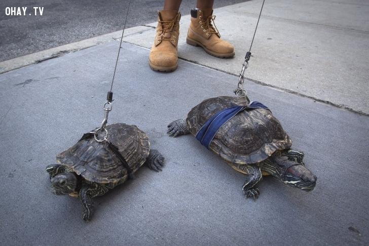 Anh Chris Roland dẫn các chú rùa Kuka và Cindy đi dạo ở đường phố New York hôm 4/8. Roland cho biết anh đã nuôi những con rùa nhiều năm và mỗi ngày đều dẫn chúng dạo phố. Ảnh: Reuters