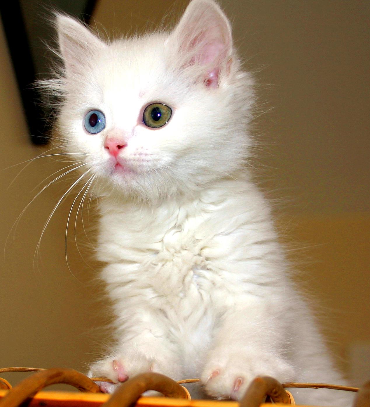 """Những loài mèo \""""đẹp lạ\"""" trên thế giới"""
