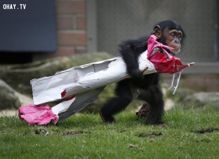 Chú tinh tinh 13 tháng tuổi tên Fumo kéo món quà Giáng sinh là đồ ăn bọc trong giấy gói quà. Fumo nhận món quà trong một sự kiện Giáng sinh của vườn thú Taronga ở Sydney, Australia, diễn ra ngày 9/12. Ảnh: Reuters