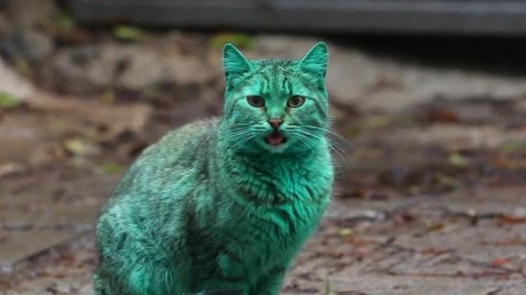 mèo lông xanh
