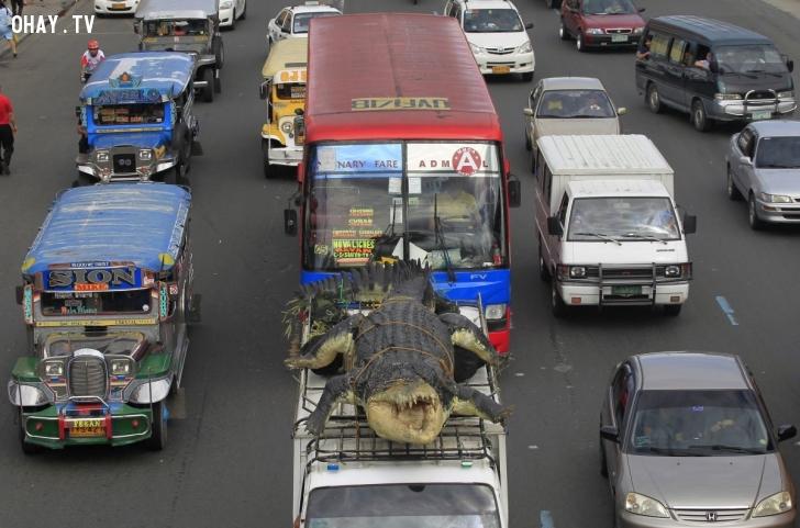 Một chiếc xe tải nhỏ chở mô hình cá sấu dài 6 mét đến công viên cá sấu ở thủ đô Manila, Philippines, vào tháng 7/2014. Nhà sản xuất chế tạo robot Longlong dựa trên hình mẫu con LoLong, con cá sấu nước mặn lớn nhất mà người dân Philippines từng bắt được. Ảnh: Reuters