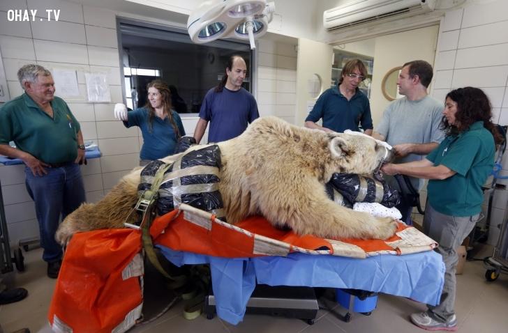 Bác sỹ thú y ở Tel Aviv, Israel, chuẩn bị phẫu thuật cho một chú gấu 19 tuổi hồi tháng 5/2014. Chú gấu bị thoát vị đĩa đệm và phải trải qua cuộc phẫu thuật xương sống. Ảnh: Reuters