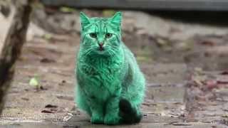 Chú mèo có bộ lông xanh ngọc đầy bí ẩn