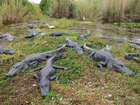 Đây là những gì xảy ra Trăn Miến Điện gặp Cá sấu châu Mỹ