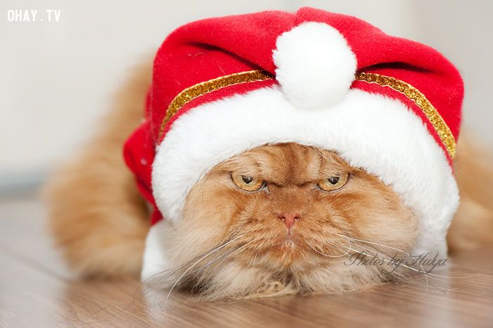 ảnh cau có,mèo Garfi,loài mèo,vật nuôi