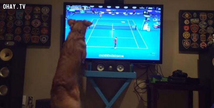 chó xem tenis