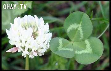 ảnh cỏ 4 lá,clover,bí mật,clover trắng,truyền thuyết cỏ 4 lá