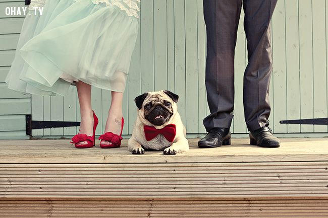 Pug in a red bowtie