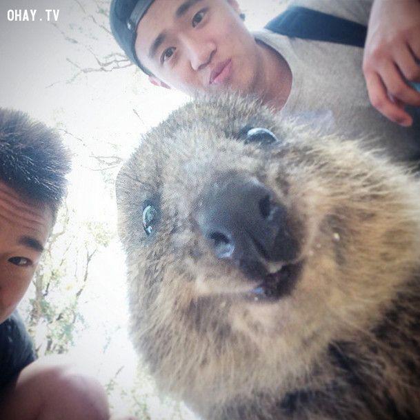chụp ảnh tự sướng selfie cùng quokka