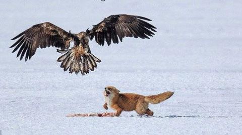 Cuộc chiến quyết liệt của cáo và bầy đại bàng