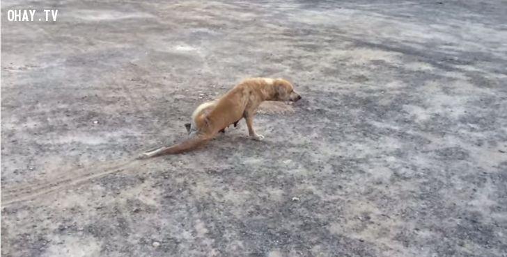ảnh thông minh,giả què,chó,vật nuôi,chó thông minh
