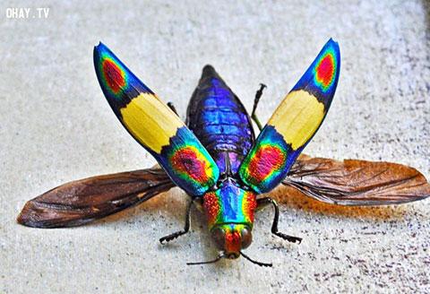 Lóa mắt với 5 loài côn trùng đẹp như trong tranh