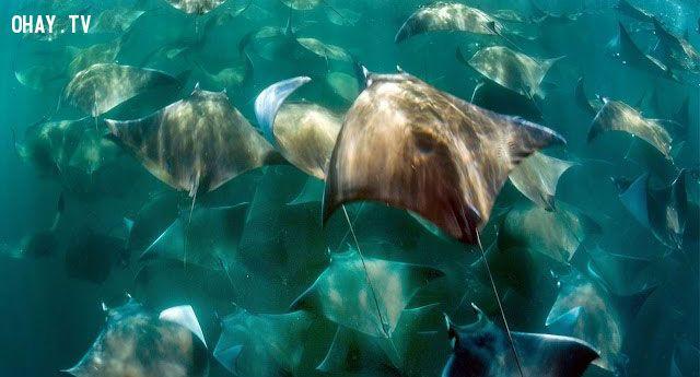 ảnh thế giới động vật,cá dơi,đàn cá dơi,đàn cá đuối,hàng nghìn con cá
