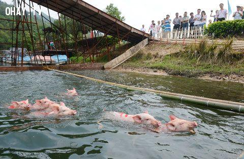 ảnh cách chăn nuôi,lợn cũng biết bơi,lợn tập thể dục,vật nuôi