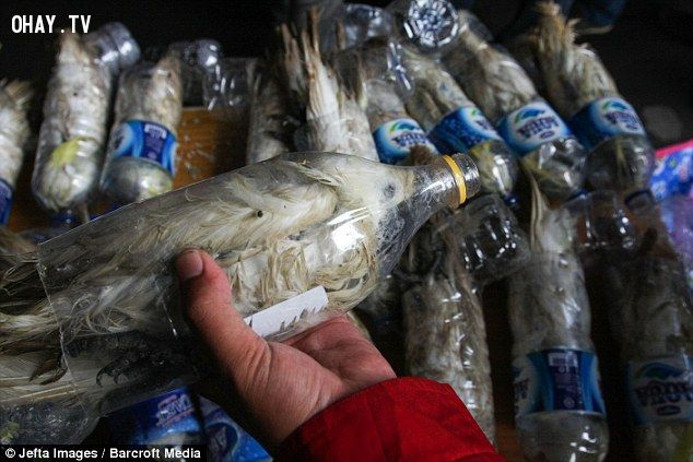 Smugglers had crammed the Yellow-crested cockatoos into empty bottles so they could get through customs at Port of Tanjung Perak in Surabaya, Indonesia