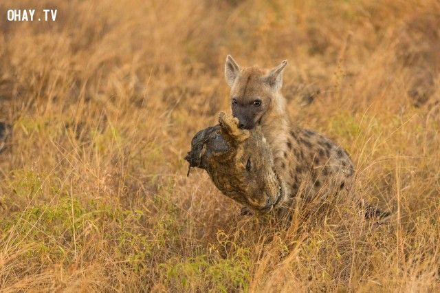 ảnh linh cẩu gặm đầu sư tử,linh cẩu vs sư tử,linh cẩu giết sư tử,thế giới động vật