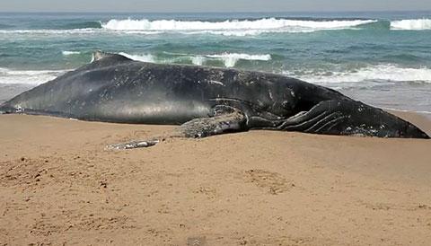 Bí ẩn tự sát tập thể của cá voi