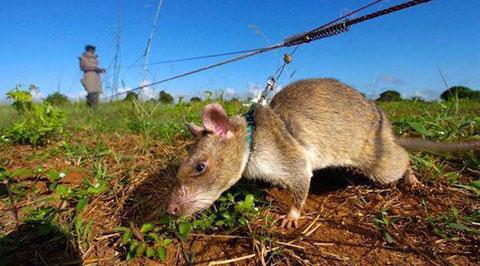 Những chú chuột khổng lồ này đã cứu hàng ngàn mạng người