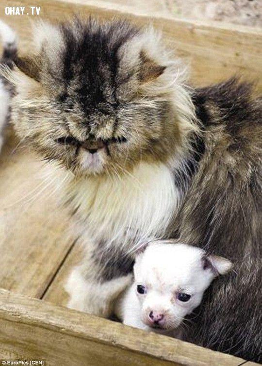 hình ảnh mèo chihuahua và Niu Niu