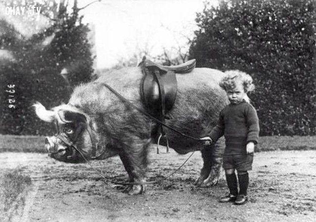 Một cậu bé đứng bên cạnh thú cưới của mình là một chú lợn rừng (năm 1930).