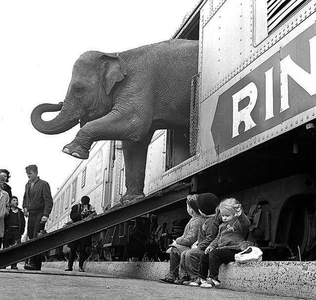 Một chú voi tại rạp xiếc bước xuống sau khi đi một chặng đường dài trên tàu (năm 1963).