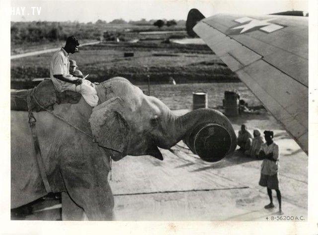 Những chú voi được sử dụng để nạp nhiên liệu cho máy bay (năm 1945).