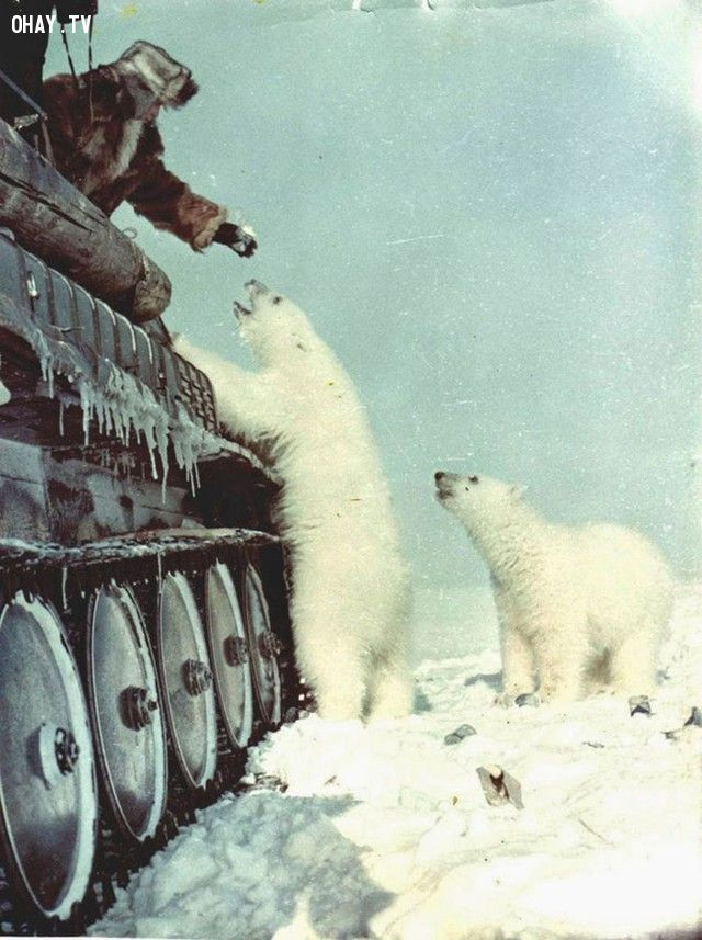 Binh lính Nga cho gấu Bắc cực ăn (năm 1950).