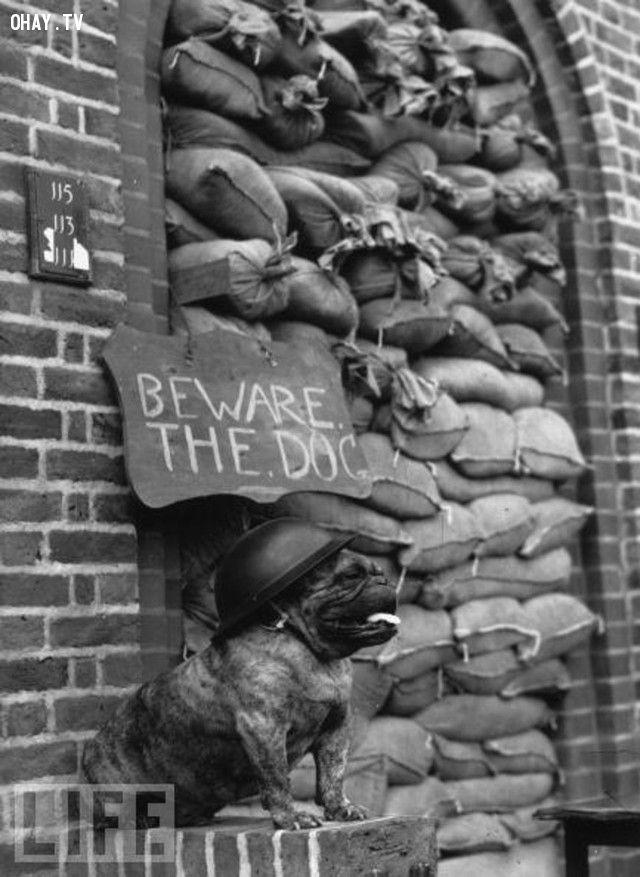 Chú chó bulldog đang đứng gác hộ những người lính Anh (năm 1939-1945).