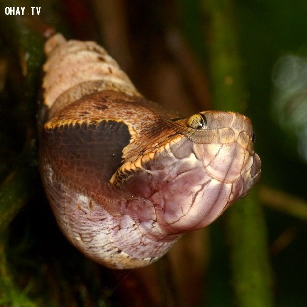 ảnh sâu bướm Dynastor Darius,động vật đáng sợ