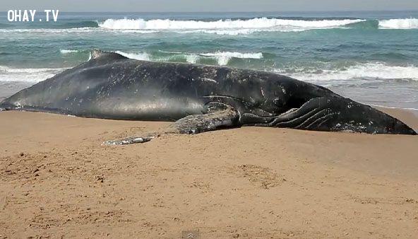 ảnh cá voi mắc cạn,cá voi,cá voi chết hàng loạt