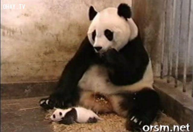 ảnh gấu trúc,gấu trúc hắt hơi,gấu trúc con,động vật dễ thương