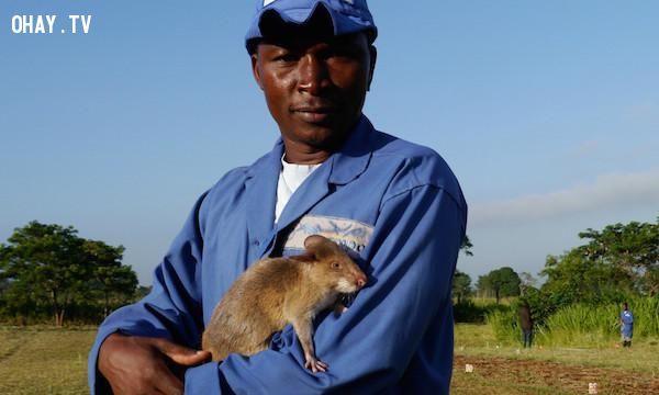 ảnh chuột phá mìn,chuột dò mìn,dò mìn bằng chuột