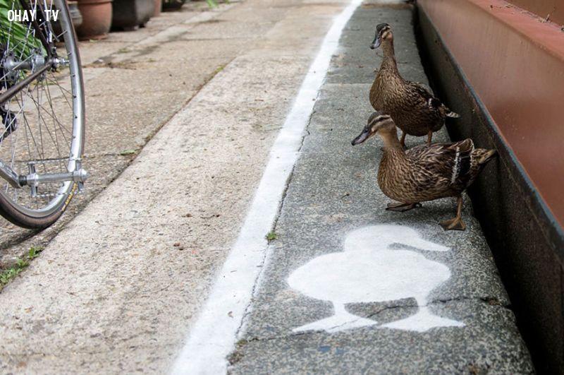 ảnh làn đường cho vịt,động vật
