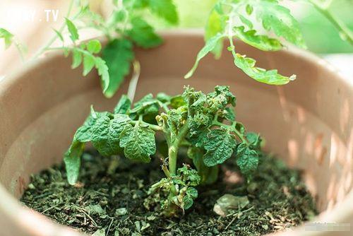 ảnh trồng cà chua,cách trồng cà chua,mẹo trồng cà chua,tự trồng rau,rau sạch,rau xanh