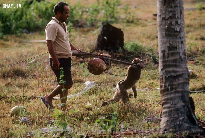Thái Lan có một trường học dành riêng cho khỉ, có tên Cao đẳng Khỉ Thani. Tại đây, các chú khỉ được học biểu diễn và hái dừa. Ngoài ra, quốc gia du lịch này cón có một lễ hội trong đó hàng tấn hoa quả, rau củ được chuyển đến cho khỉ ăn. Ảnh: Michaelfreemanphoto.