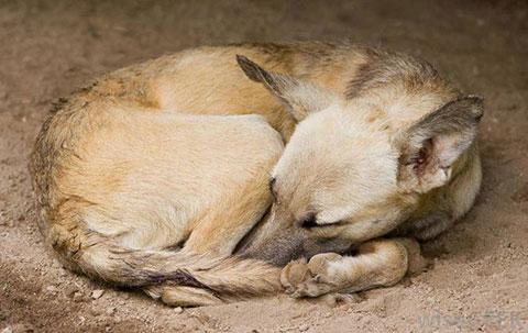 Tại sao chó lại đi thành một vòng tròn trước khi nằm ngủ