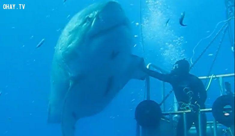 ảnh cá mập trắng,chạm tay vào cá mập,cá mập khổng lồ