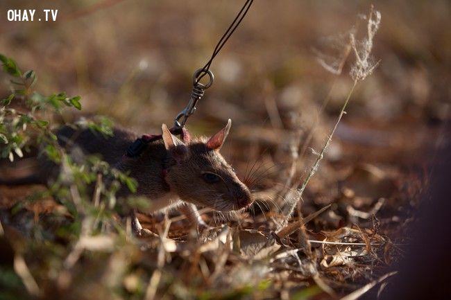 ảnh chuột dò mìn,chuột đánh hơi dò mìn,HeroRats