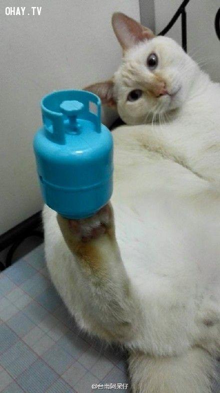 ảnh Gaigai Wuwu,mèo giữ thăng bằng,vật nuôi,mèo giỏi