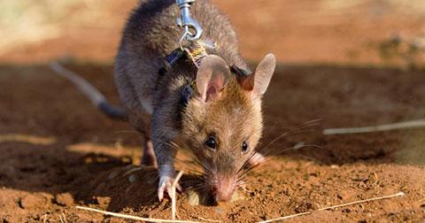 Những chú chuột dò mìn đáng yêu đã cứu hàng ngàn mạng sống