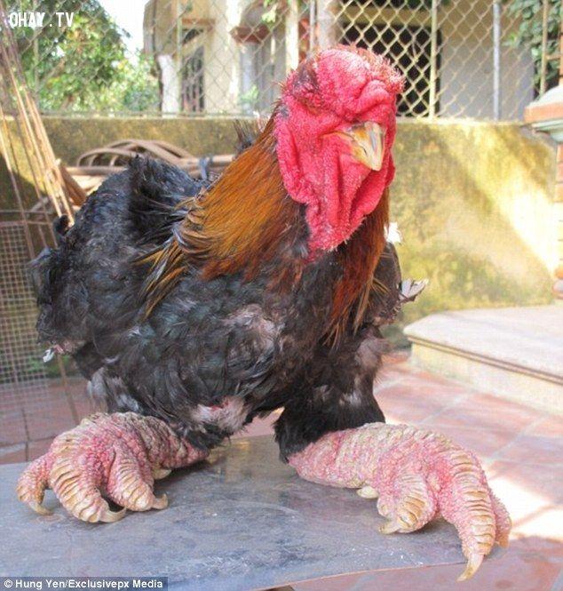 ảnh gà đông tảo,dong tao chicken,gà chân khủng,gà rồng việt nam