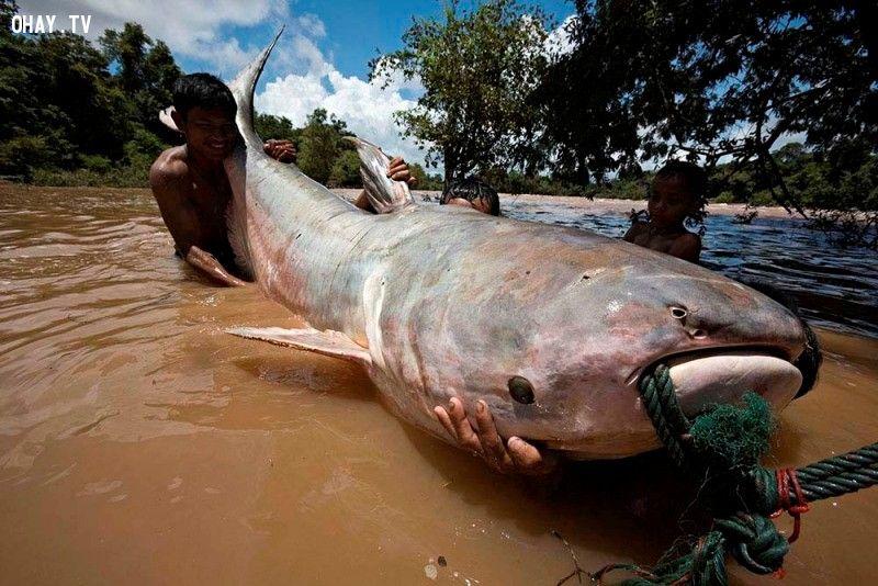 Thái Lan có một trong những loại cá nước ngọt lớn nhất thế giới - cá tra dầu sông Mekong, với trọng lượng có thể lên tới hơn 300 kg. Đồng thời, quốc gia này cũng có loài dơi nhỏ nhất thế giới - dơi Bumblebee, chỉ dài hơn 2,5 cm và nặng khoảng 2 g. Ảnh: Chiangraibulletin.