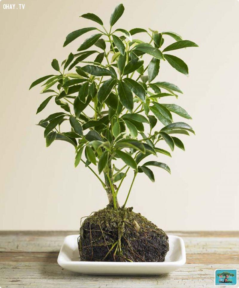 ảnh trồng cây trong nhà,cây trồng đuổi muỗi,trồng cây xanh,cây xanh