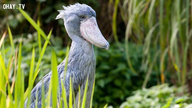 smiling shoebill