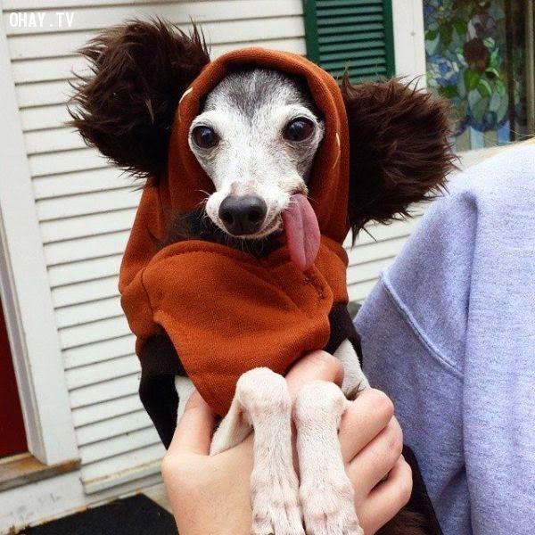 ảnh vật nuôi,hình ảnh chó dễ thương,chú chó zappa,chó săn xám ý,italiant greyhound