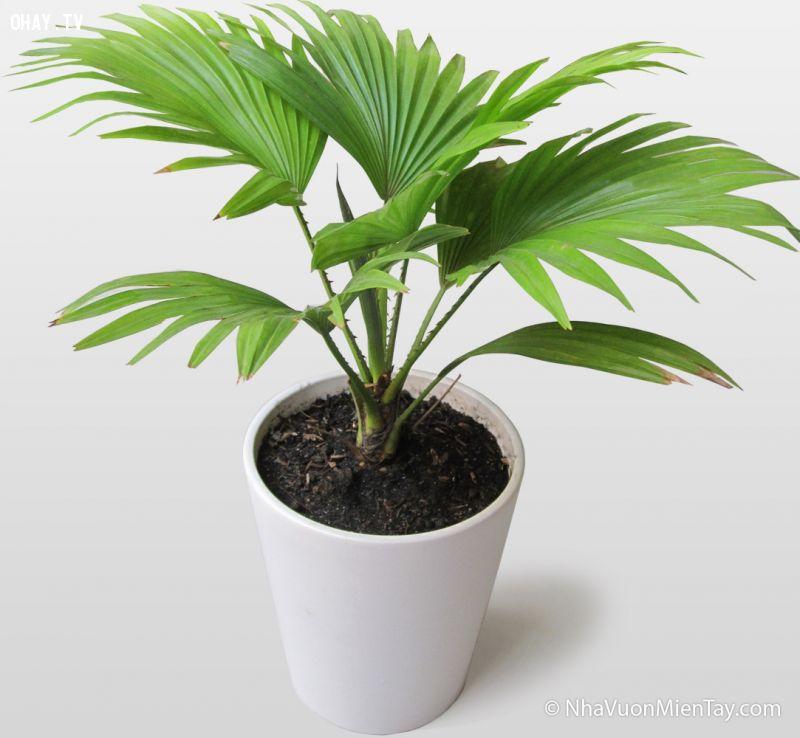 ảnh cây may mắn,cây tài lộc,hợp phong thủy,cây cảnh,cây để bàn,công sở,cây cảnh cho văn phòng,trồng cây cảnh