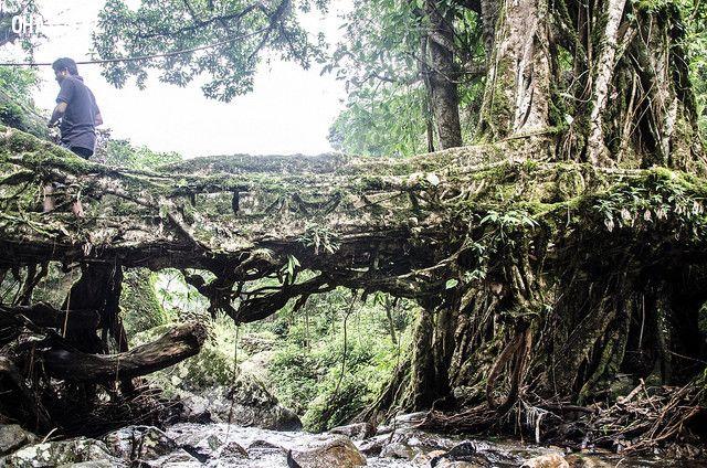 ảnh những cây cầu kì lạ,cầu rễ cây,có thể bạn chưa biết,những cây cầu độc đáo,thiết kế lạ