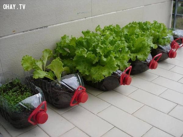 ảnh trồng rau sạch tại nhà,vật dụng trồng rau,trồng rau